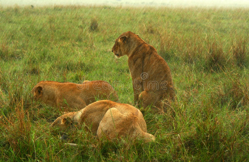 les lions de famille pleuvoir dessous images stock