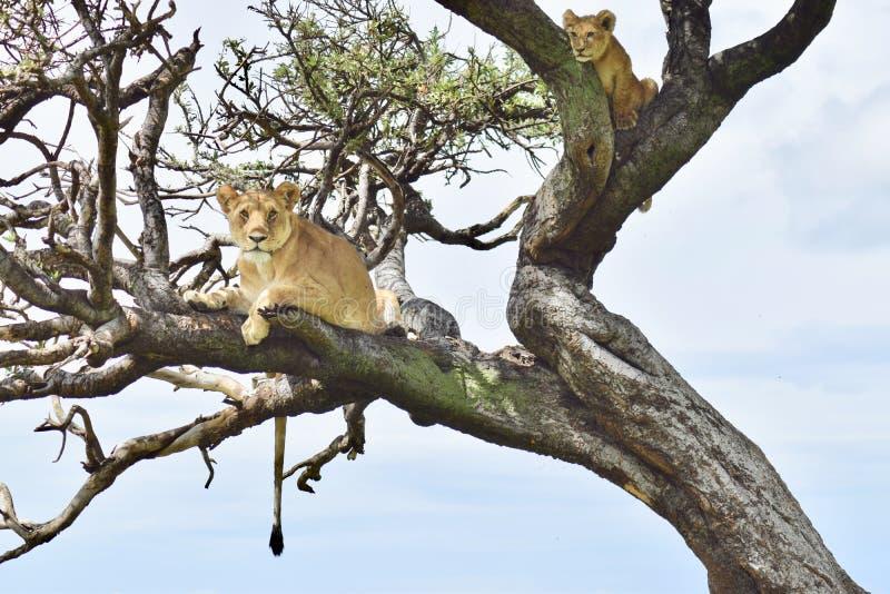 Les lions lèvent un arbre photos stock