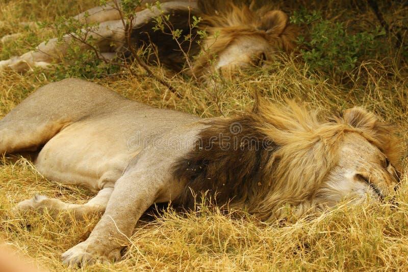 Les lions masculins adultes superbes mènent la fierté photos stock