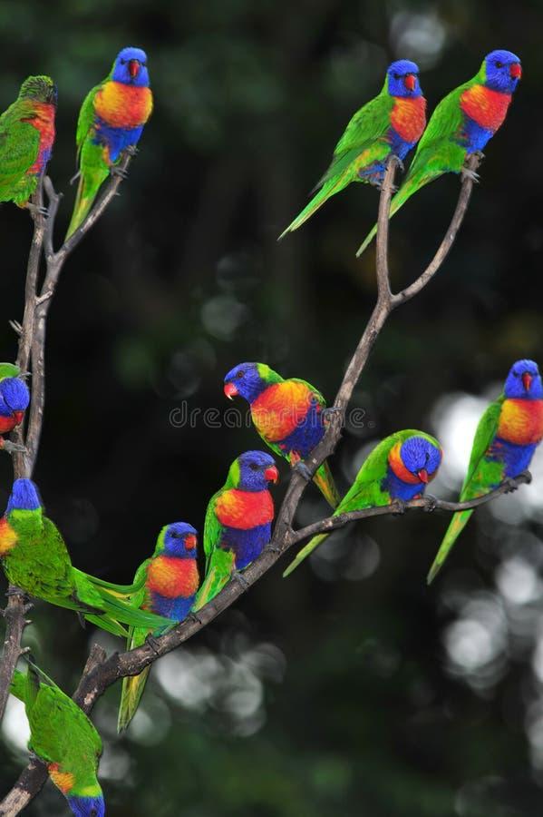 Les lorikeets d'arc-en-ciel recueillent dans un arbre, Queensland, Australie photographie stock libre de droits
