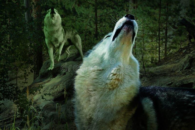 Les loups hurlent dans une forêt de pin photos stock