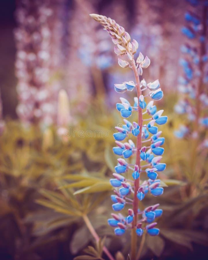 Les lupines bleus sauvages s'élevant en été mettent en place, des couleurs d'imagination photographie stock
