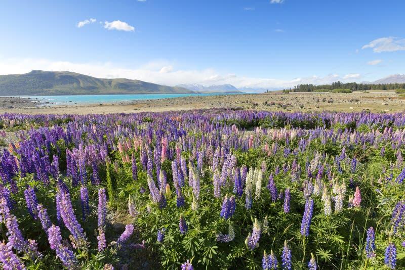Les Lupines ont embelli le paysage de Tekapo de lac photographie stock
