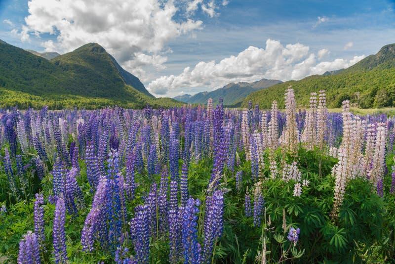 Les lupines pourpres de couleur fleurissent avec le fond de montagne, Nouvelle-Zélande image stock