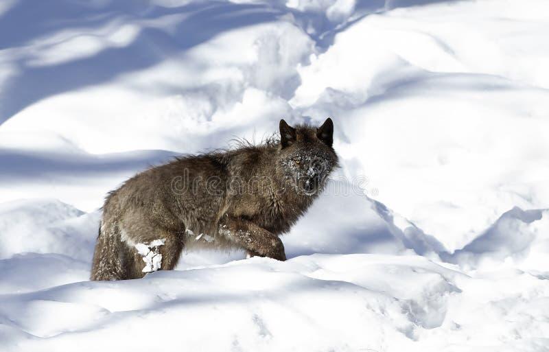 Les lupus de Canis noirs solitaires de loup marchant pendant l'hiver neigent dans le Canada photo libre de droits