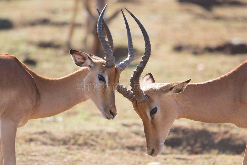 Les mâles de combat d'impala se ferment, parc de Kruger, Afrique du Sud photo stock