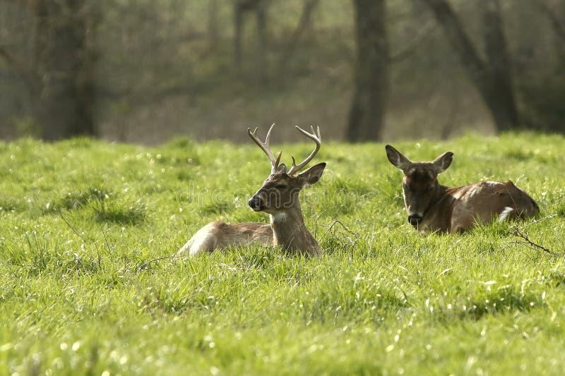 Les mâles de Whitetail ont enfoncé vers le bas dans un pré ensoleillé photos libres de droits