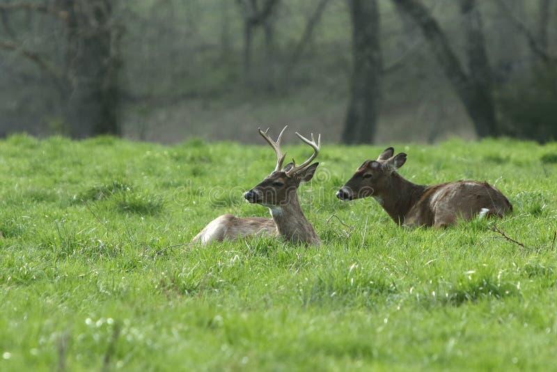 Les mâles de Whitetail ont enfoncé vers le bas dans un pré ensoleillé images libres de droits