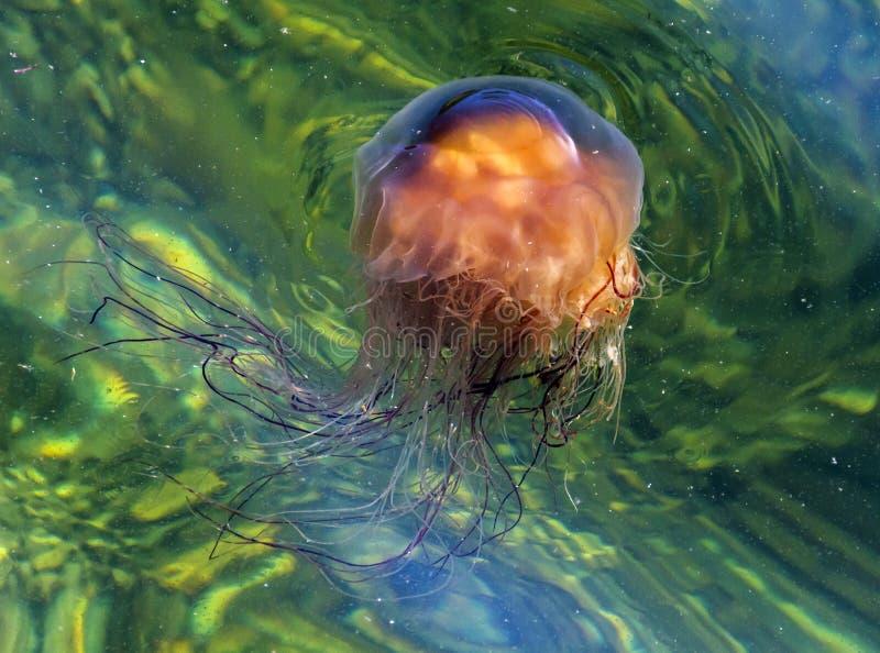 Les méduses de Lion's Mane à Bonne Bay (Terre-Neuve) images stock