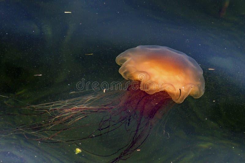 Les méduses de Lion's Mane à Bonne Bay (Terre-Neuve) photos libres de droits