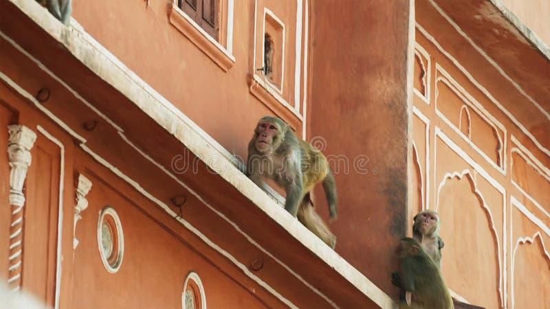 Les macaques de rhésus est entrés dans la ville et a volé beaucoup de choses d'humain, Jaipur en Inde images libres de droits