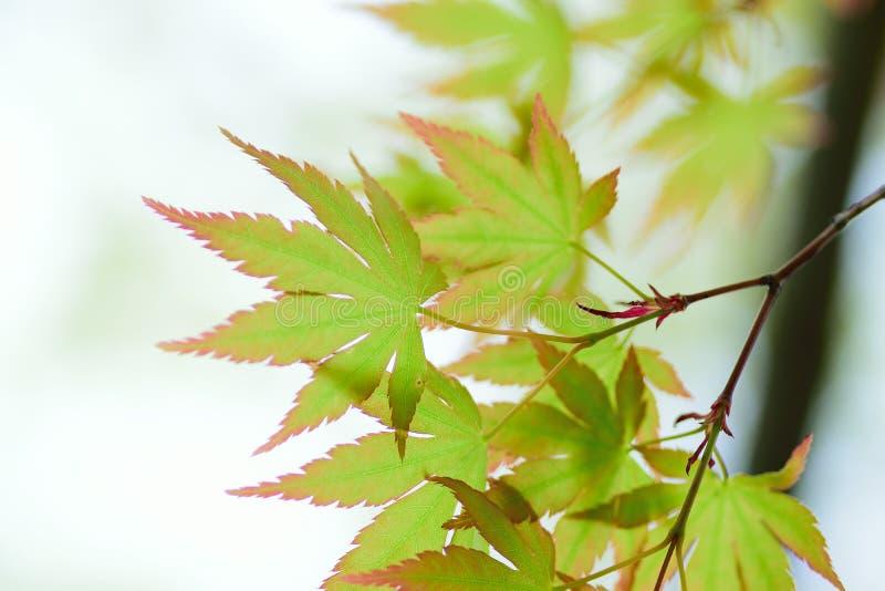 Les macro détails de l'érable japonais vert frais part dans le cadre horizontal photo stock