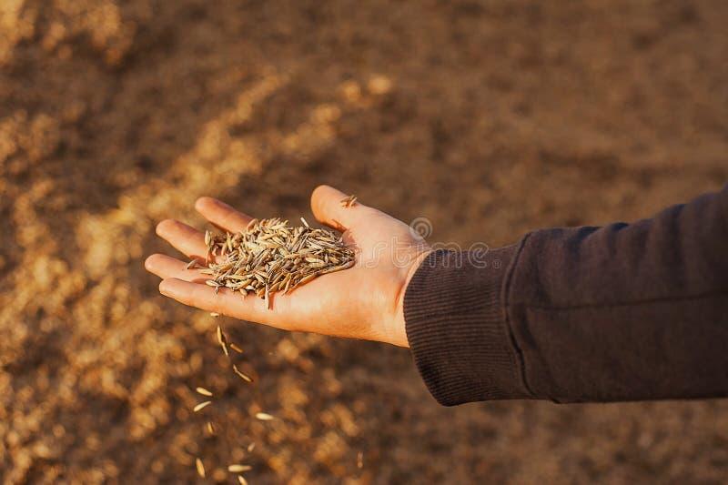 Les mains d'un plan rapproché de producteur tenant une poignée de grains de blé Copiez l'espace Pré rural Concept riche de récolt photos stock