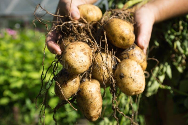 Les mains de l'agriculteur avec la plante de pomme de terre de creusement fraîche photo libre de droits