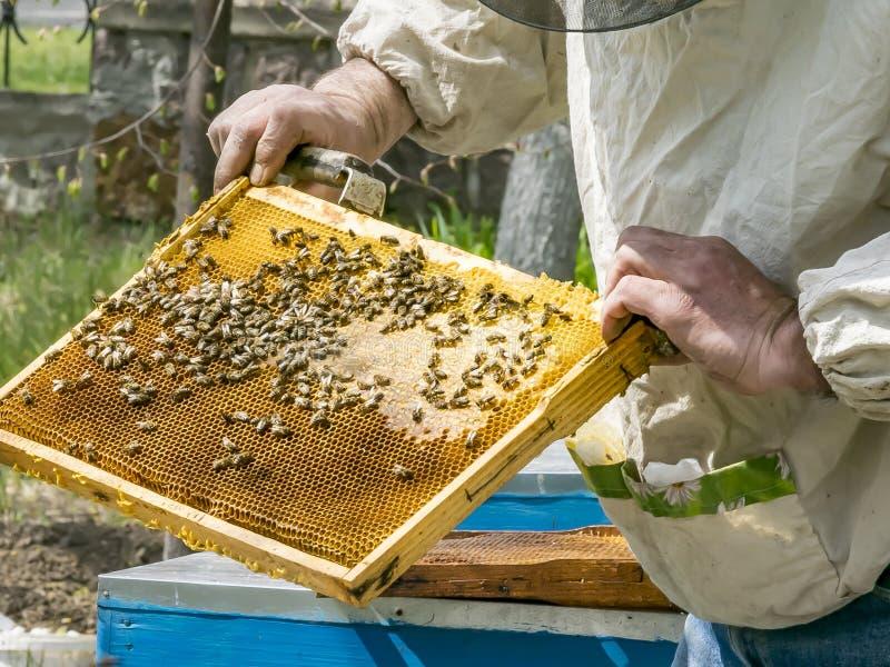 Les mains de l'apiculteur tenant un cadre en bois avec des nids d'abeilles Inspection de la ruche au jardin de rucher au printemp photographie stock
