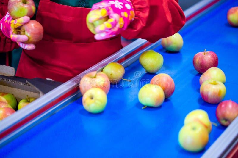 Les mains de l'employé qui a emballé les pommes dans un carton photographie stock