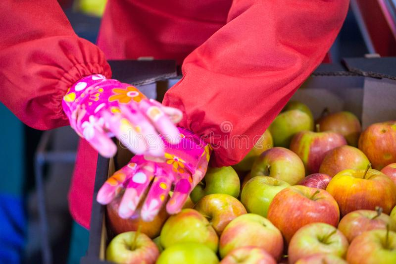 Les mains de l'employé qui a emballé les pommes dans un carton image libre de droits