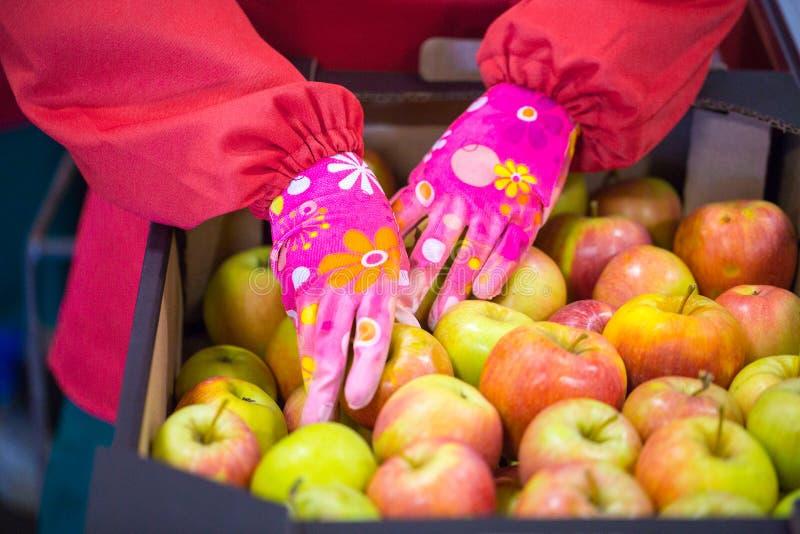 Les mains de l'employé qui a emballé les pommes dans un carton images stock