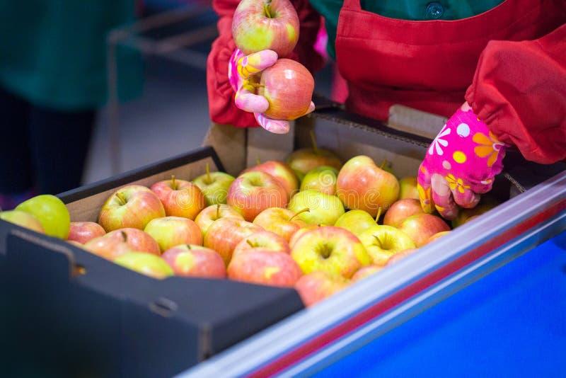 Les mains de l'employé qui a emballé les pommes dans un carton photo libre de droits