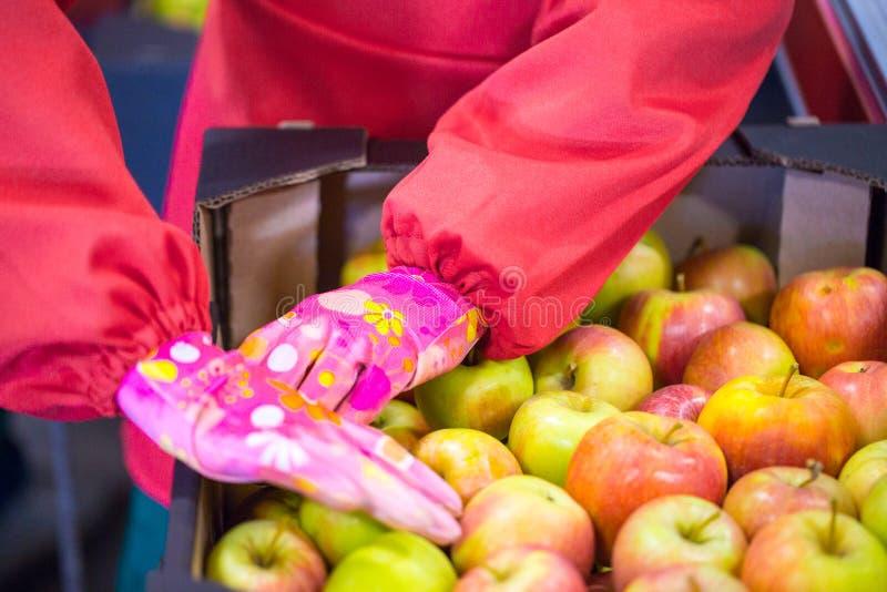 Les mains de l'employé qui a emballé les pommes dans un carton photographie stock libre de droits
