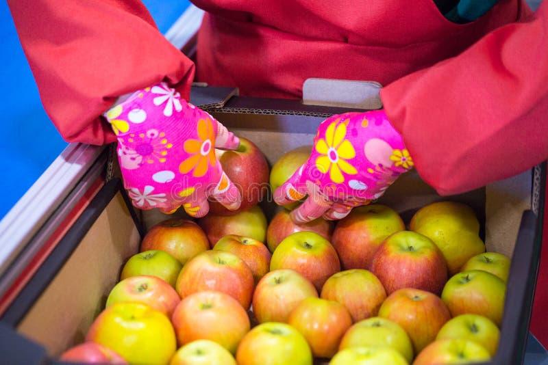 Les mains de l'employé qui a emballé les pommes dans un carton image stock