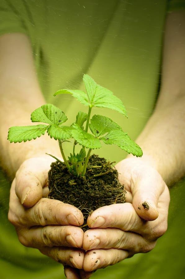 Les mains de l'homme tenant la jeune plante de fraise en saleté, l'eau chute photos stock