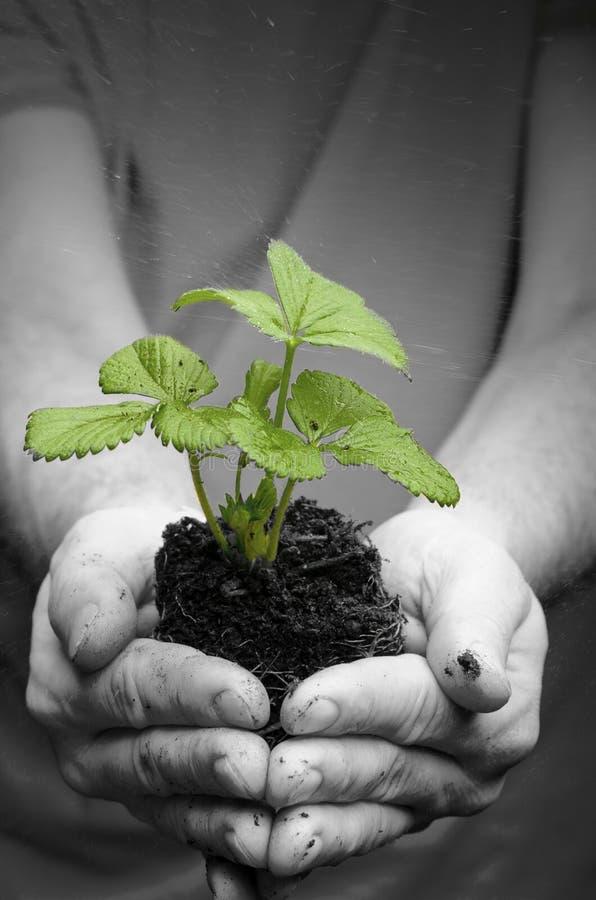Les mains de l'homme tenant la jeune plante de fraise en saleté, l'eau chute photos libres de droits