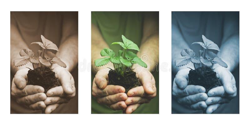 Les mains de l'homme tenant la jeune plante de fraise en saleté, l'eau chute photographie stock