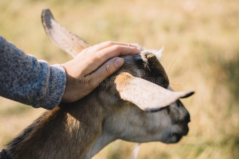 Les mains de la chèvre de course de fille se ferment dehors photo libre de droits