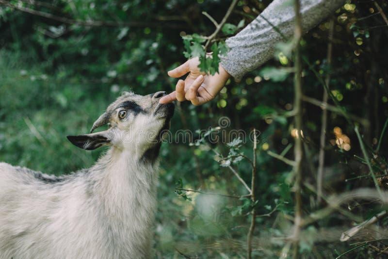 Les mains de la chèvre de course de fille se ferment dehors image libre de droits