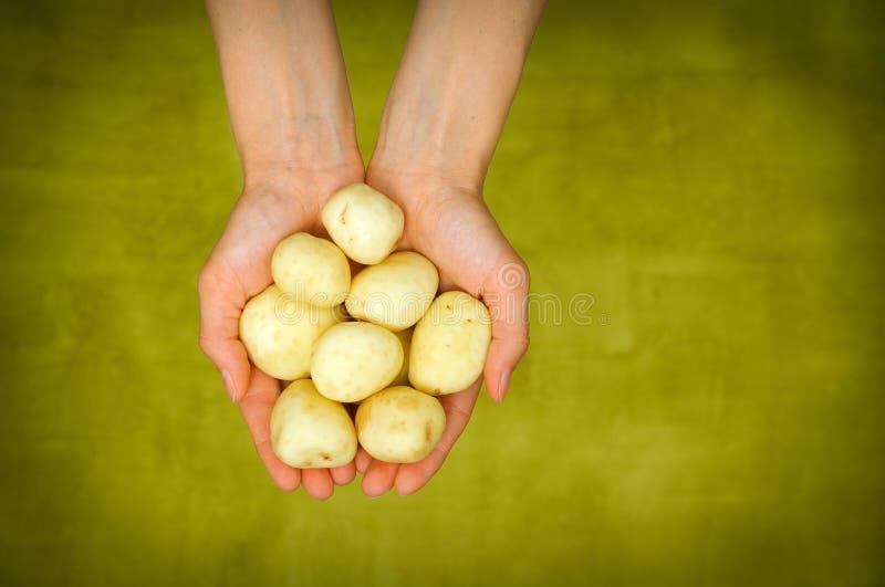 Les mains de la femme tenant la pousse haute étroite de pommes de terre fraîches photo stock