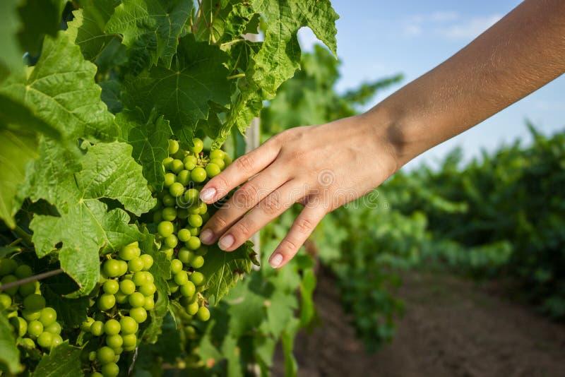 Les mains de la fille touchent la récolte des raisins Raisins croissants de examen d'agriculteur image libre de droits