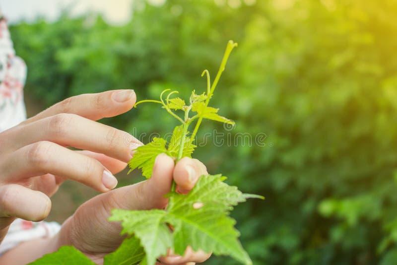 Les mains de la fille touchent la récolte des raisins Raisins croissants de examen d'agriculteur photographie stock