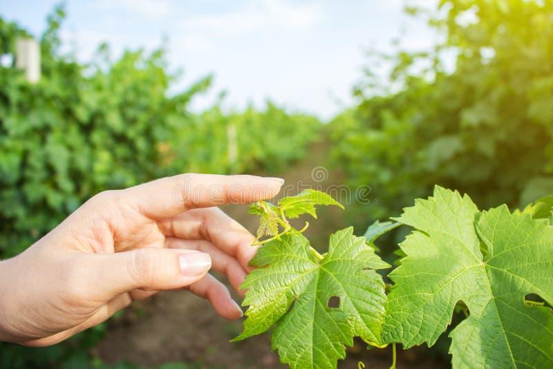 Les mains de la fille touchent la récolte des raisins Raisins croissants de examen d'agriculteur photo stock