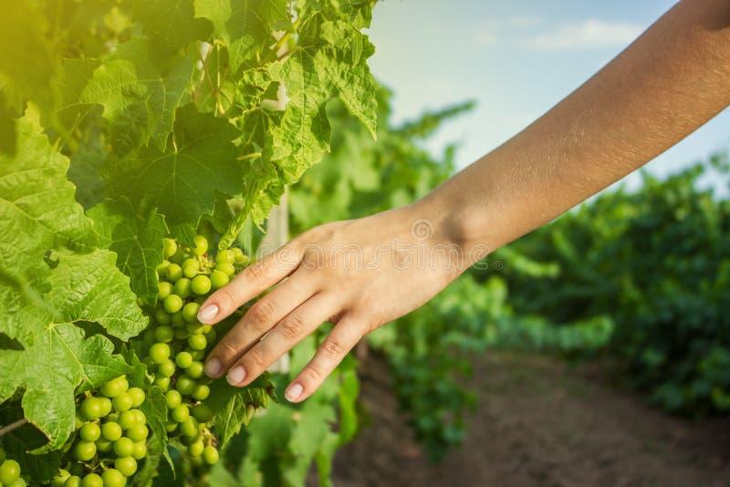Les mains de la fille touchent la récolte des raisins Vignes à disposition avec la lumière du soleil chaude photographie stock