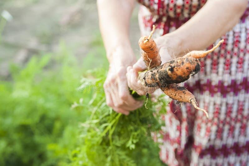 Les mains froissées d'une personne âgée tenir les carottes fraîches avec la terre et des dessus Récolte de carotte de plan rappro photos libres de droits