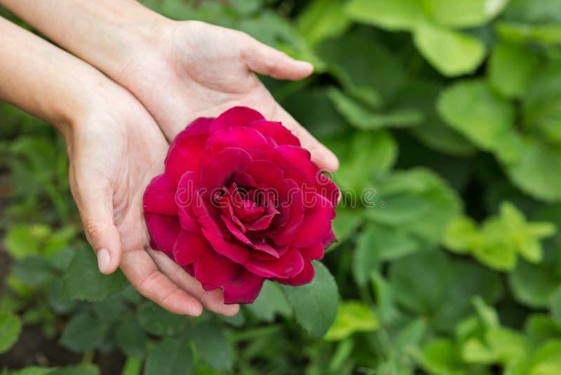 Les mains montrent une rose photo libre de droits