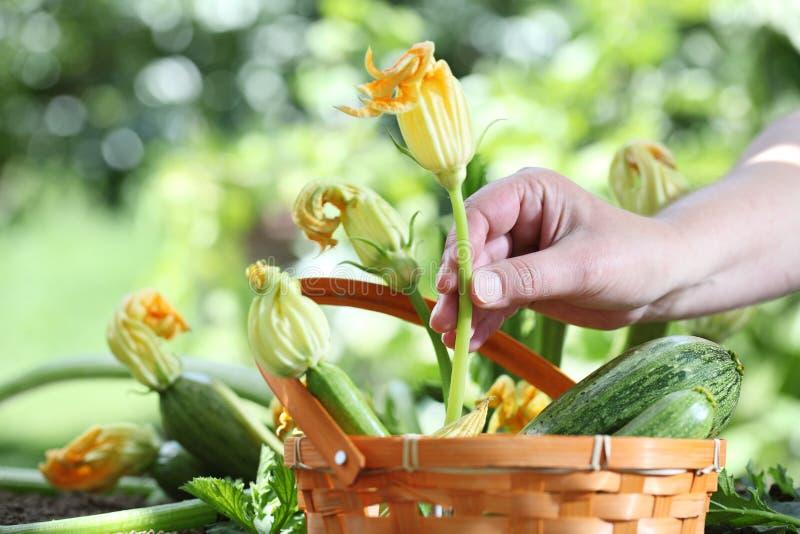Les mains sélectionnant la courgette fleurit avec le panier dans le potager, images stock