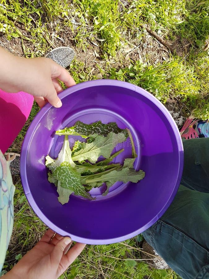 Les mains tenant la cuvette pourpre en plastique avec les usines sauvages comestibles pendant la cueillette se déclenchent images libres de droits