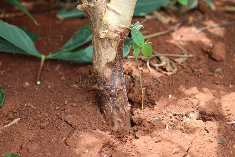 Les maladies de l'usine et de la racine de manioc photos libres de droits