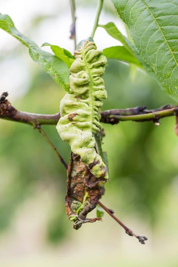 Les maladies fongiques des arbres fruitiers Deformans de Taphrina Feuilles des arbres fruitiers avec la maladie de boucle de feui photographie stock