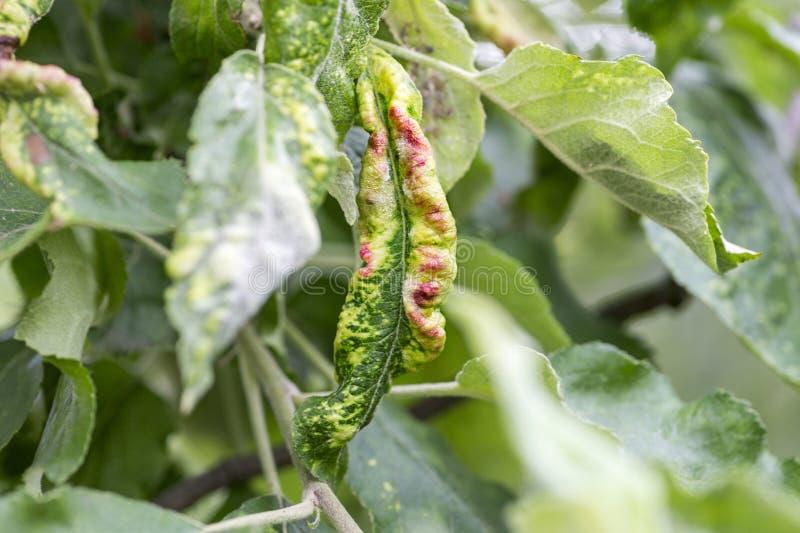 Les maladies fongiques des arbres fruitiers Deformans de Taphrina Feuilles des arbres fruitiers avec la maladie de boucle de feui images stock