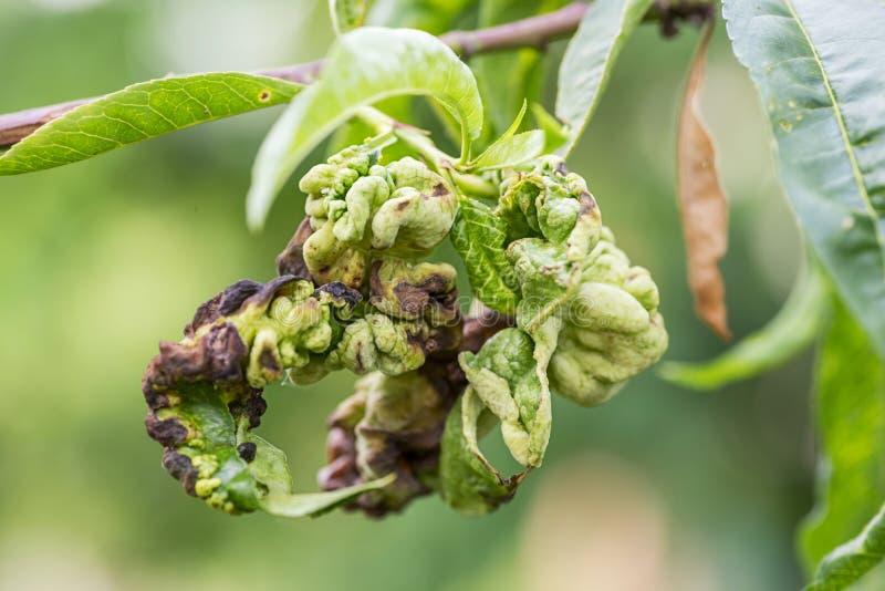 Les maladies fongiques des arbres fruitiers Deformans de Taphrina Feuilles des arbres fruitiers avec la maladie de boucle de feui photographie stock libre de droits