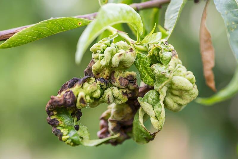 Les maladies fongiques des arbres fruitiers Deformans de Taphrina Feuilles des arbres fruitiers avec la maladie de boucle de feui photos stock