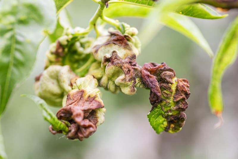 Les maladies fongiques des arbres fruitiers Deformans de Taphrina Feuilles des arbres fruitiers avec la maladie de boucle de feui images libres de droits