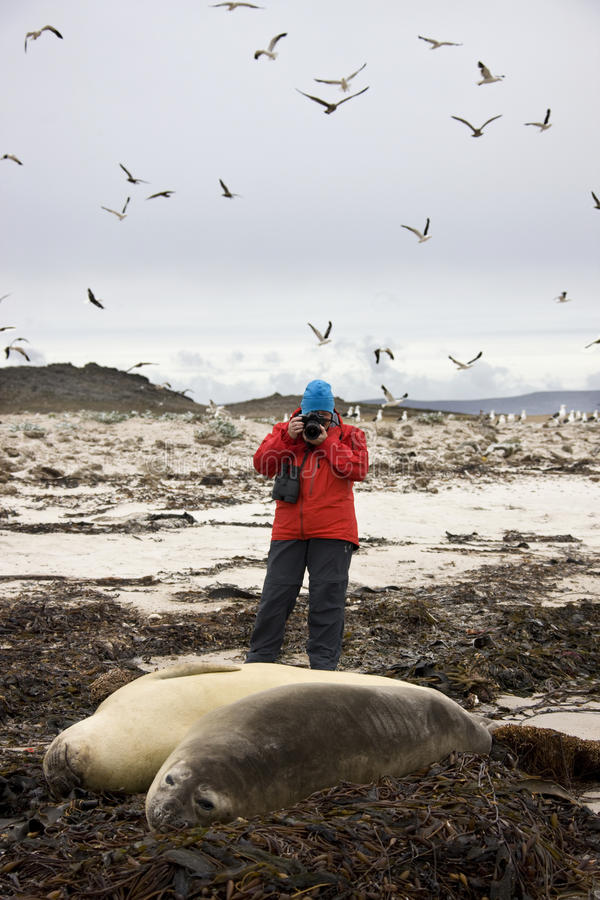Les Malouines - touriste photographiant des sceaux photographie stock