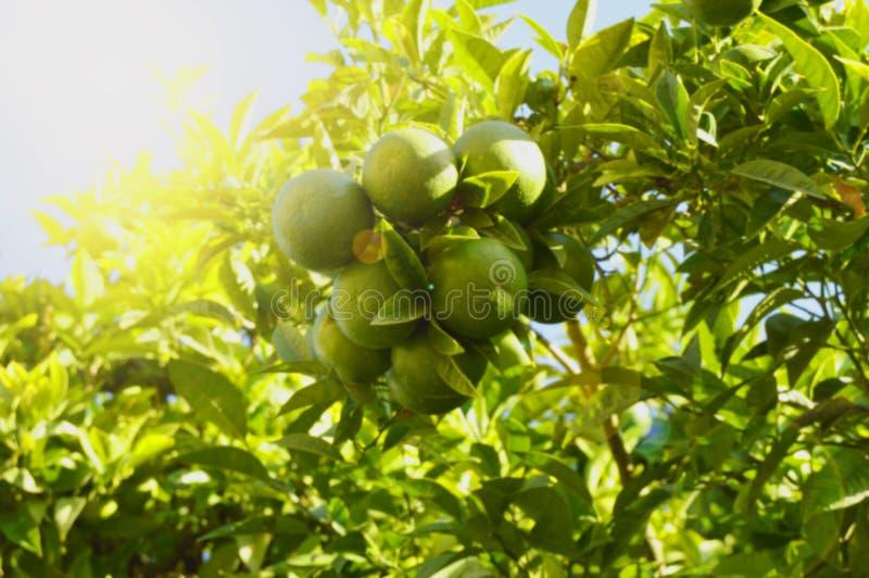 Les mandarines vertes mûrissent sur l'arbre à la lumière du soleil, le concept de cultiver le fruit organique, fond végétal avec  photographie stock