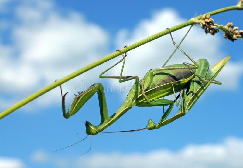 Les Mantises s'accouplent naturellement photo stock