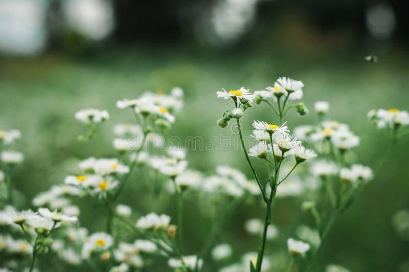 Les marguerites blanches se développent sur un champ vert image stock