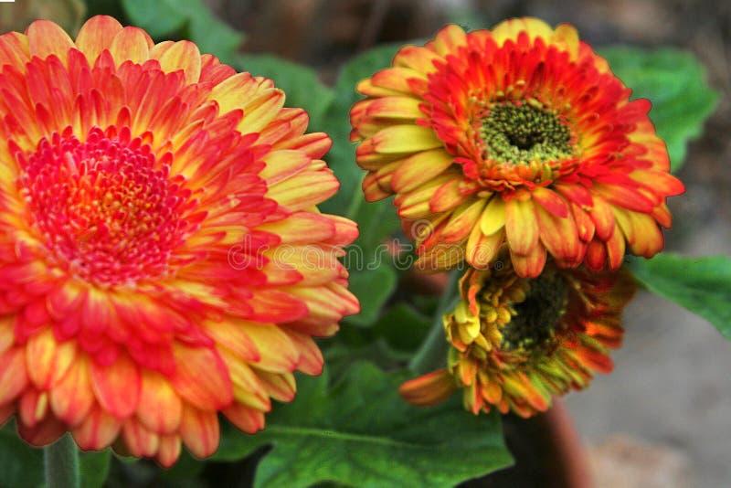 Les marguerites multicolores de gerber ont éclaté dans la fleur photos libres de droits